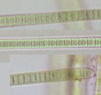 Image of <i>Phormidium breve</i>