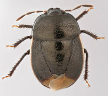 Image of <i>Legnotus limbosus</i>