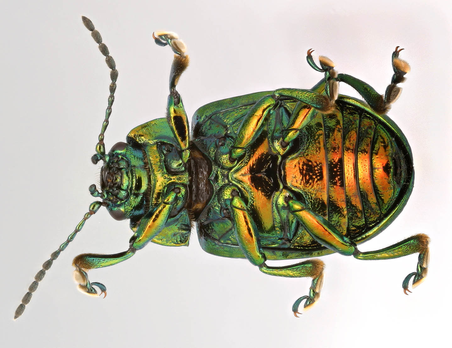 Image of Mint Beetle