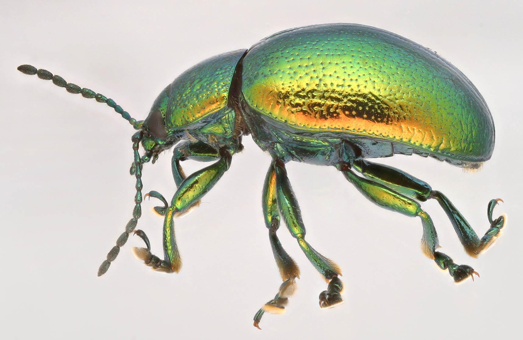 Image of Mint Beetle