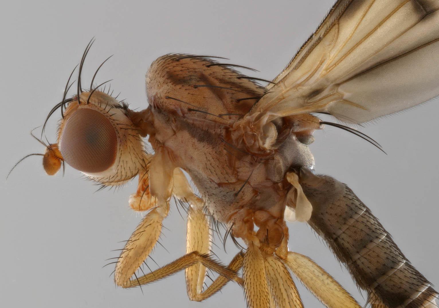Image of <i>Opomyza germinationis</i> (Linnaeus 1758)