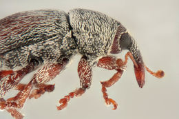 Image of Red Clover Seed Weevil