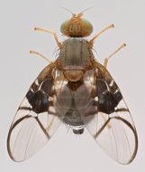 Image of <i>Anomoia purmunda</i> (Harris 1780)