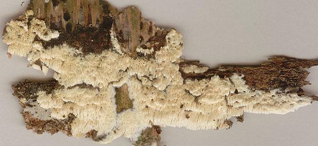 Image of <i>Schizopora paradoxa</i> (Schrad.) Donk 1967