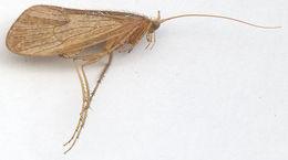 Image of <i>Stenophylax vibex</i> (Curtis 1834)