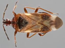 Image of <i>Anthocoris nemoralis</i> (Fabricius 1794)