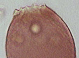 Image of <i>Assulina muscorum</i>