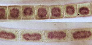 Image of Klebsormidium