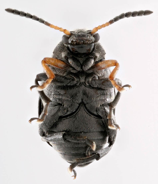 Image of <i>Bruchus loti</i> Paykull 1800