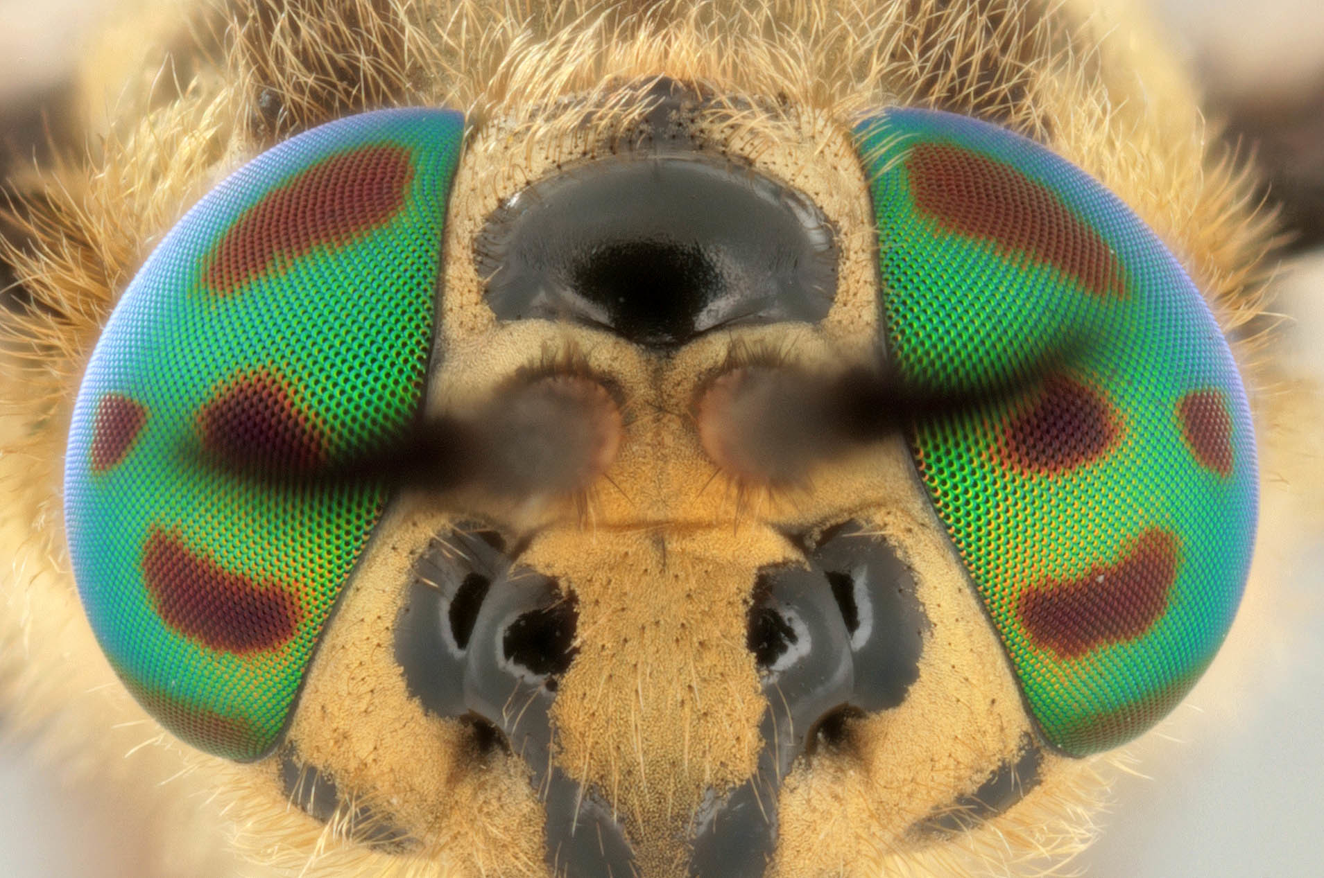 Image of Horse-fly