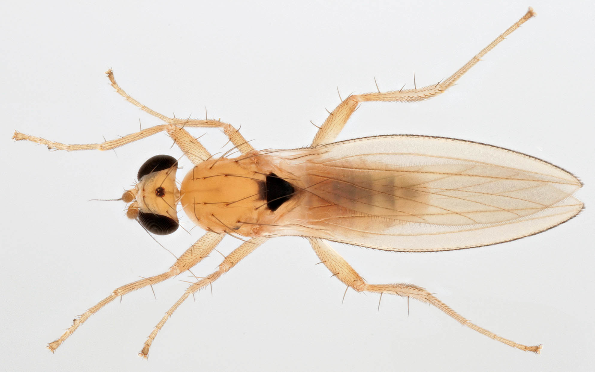 Image of <i>Lonchoptera scutellata</i> Stein 1890