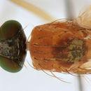 Image of <i>Xanthochlorus tenellus</i> (Wiedemann 1817)