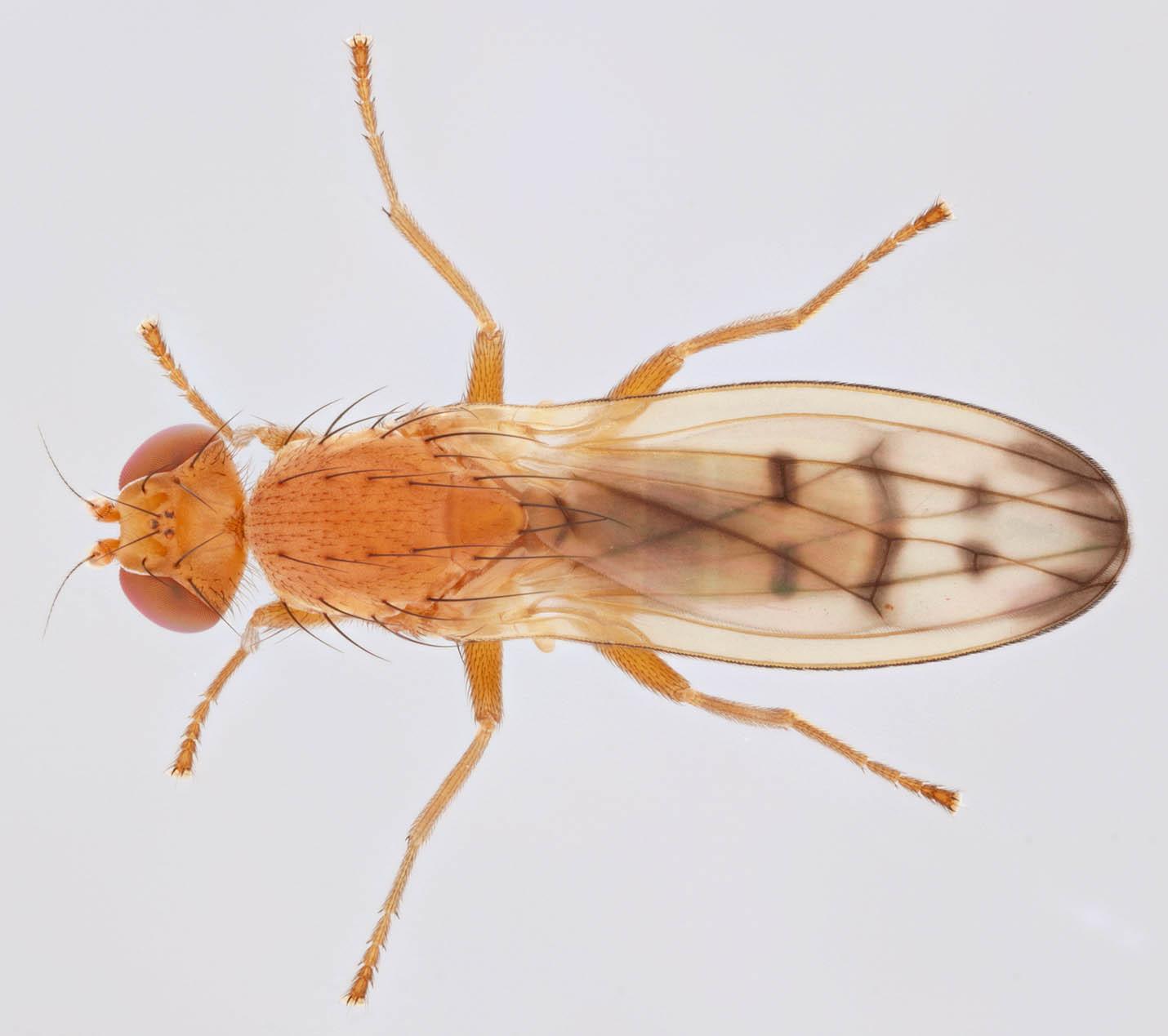 Image of <i>Opomyza florum</i> (Fabricius 1794)