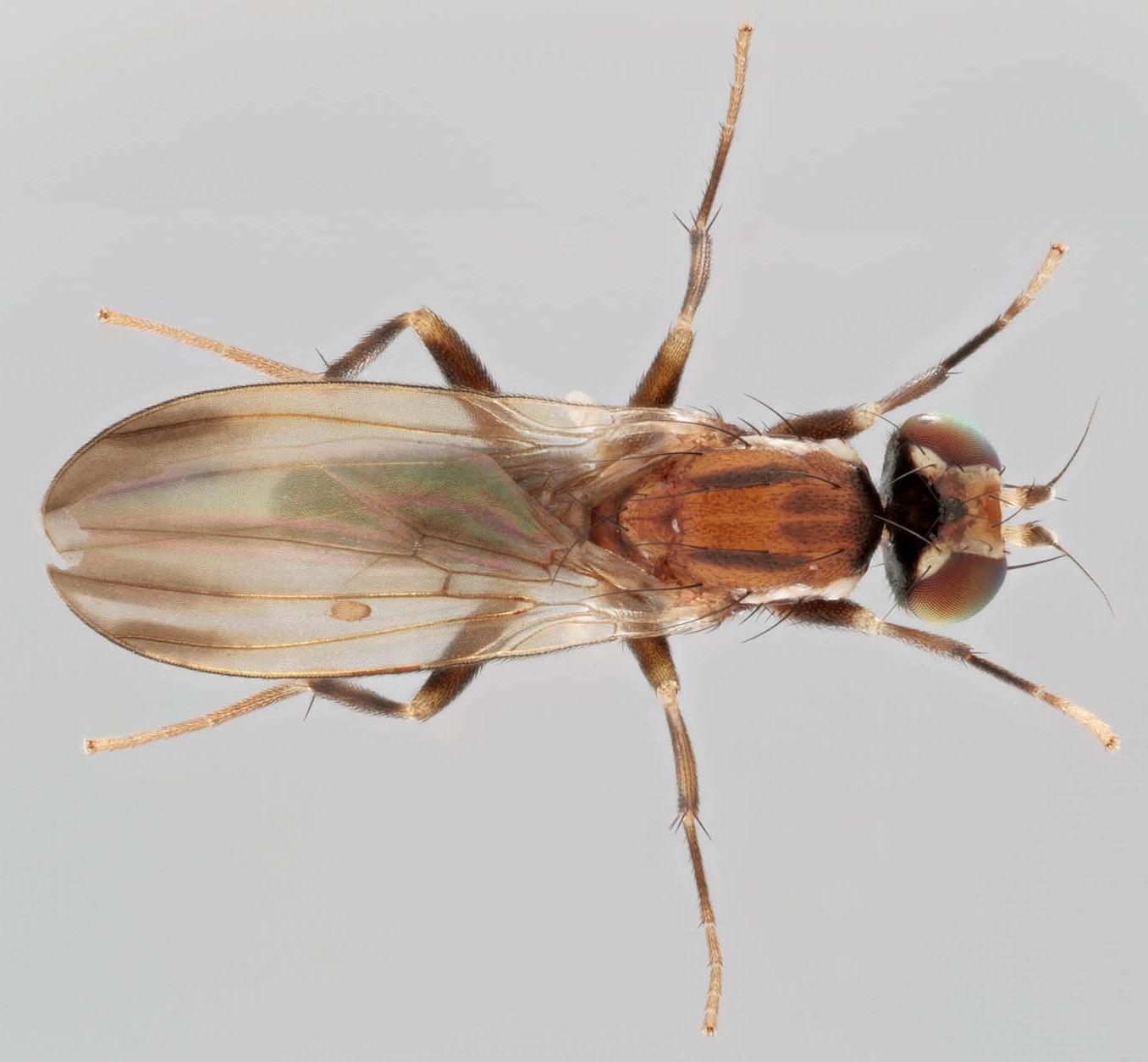 Image of <i>Clusiodes albimanus</i> Meigen 1830