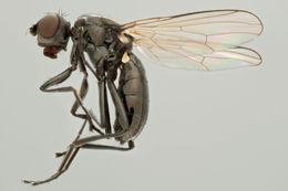 Image of <i>Themira putris</i> (Linnaeus 1758)