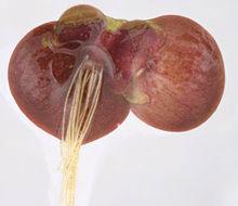 Image of <i>Spirodela polyrhiza</i>