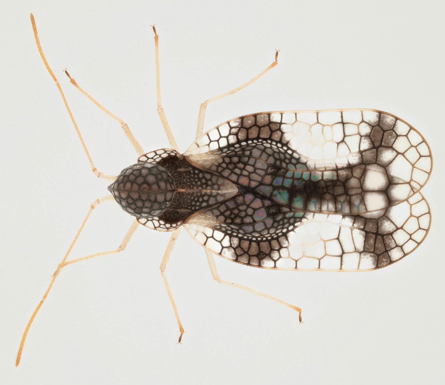 Image of Andromeda lace bug