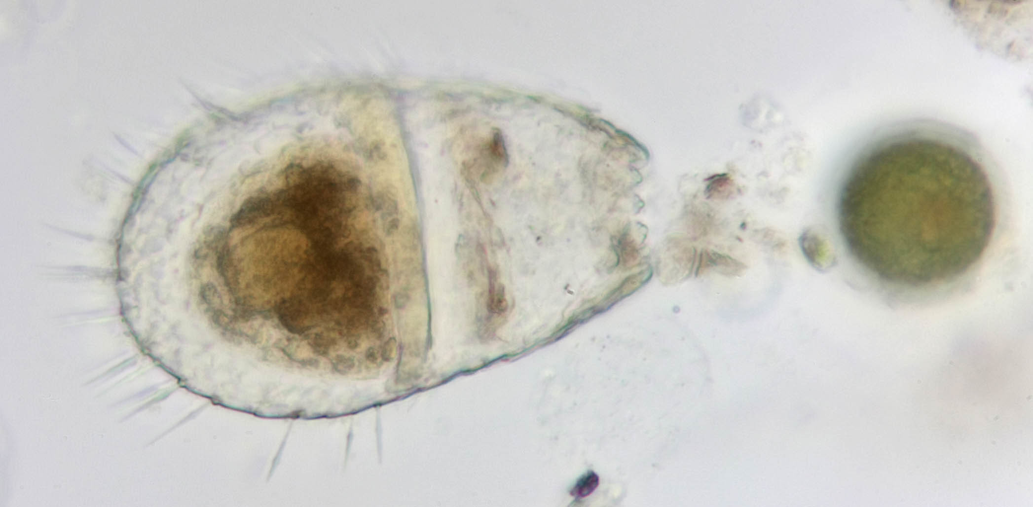 Image of <i>Euglypha compressa</i>