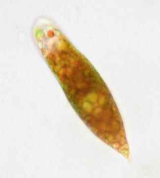 Image of <i>Euglena sanguinea</i>