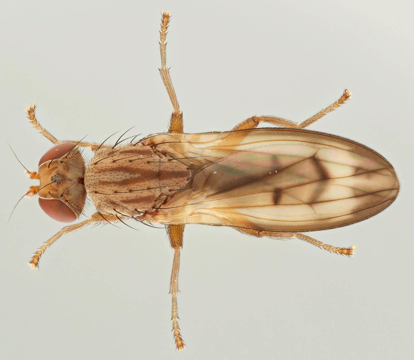 Image of <i>Opomyza petrei</i> Mesnil 1934