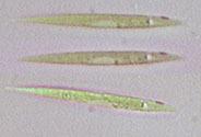 Image of <i>Chlorogonium elongatum</i>