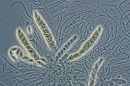 Image of <i>Phyllachora dactylidis</i> Delacr. 1892