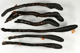 Image of <i>Glutinoglossum glutinosum</i> (Pers.) Hustad, A. N. Mill., Dentinger & P. F. Cannon 2013