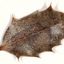 Image of <i>Trochila ilicina</i> (Nees ex Fr.) Courtec. 1986