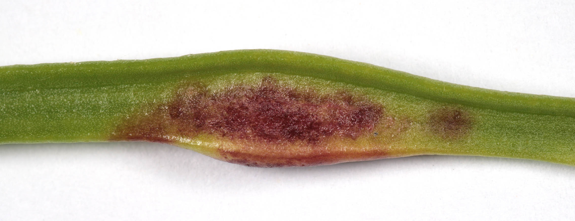 Image of Nematode