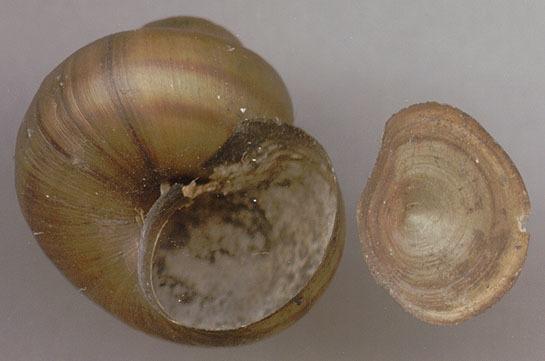 Image of <i>Viviparus viviparus</i> (Linnaeus 1758)