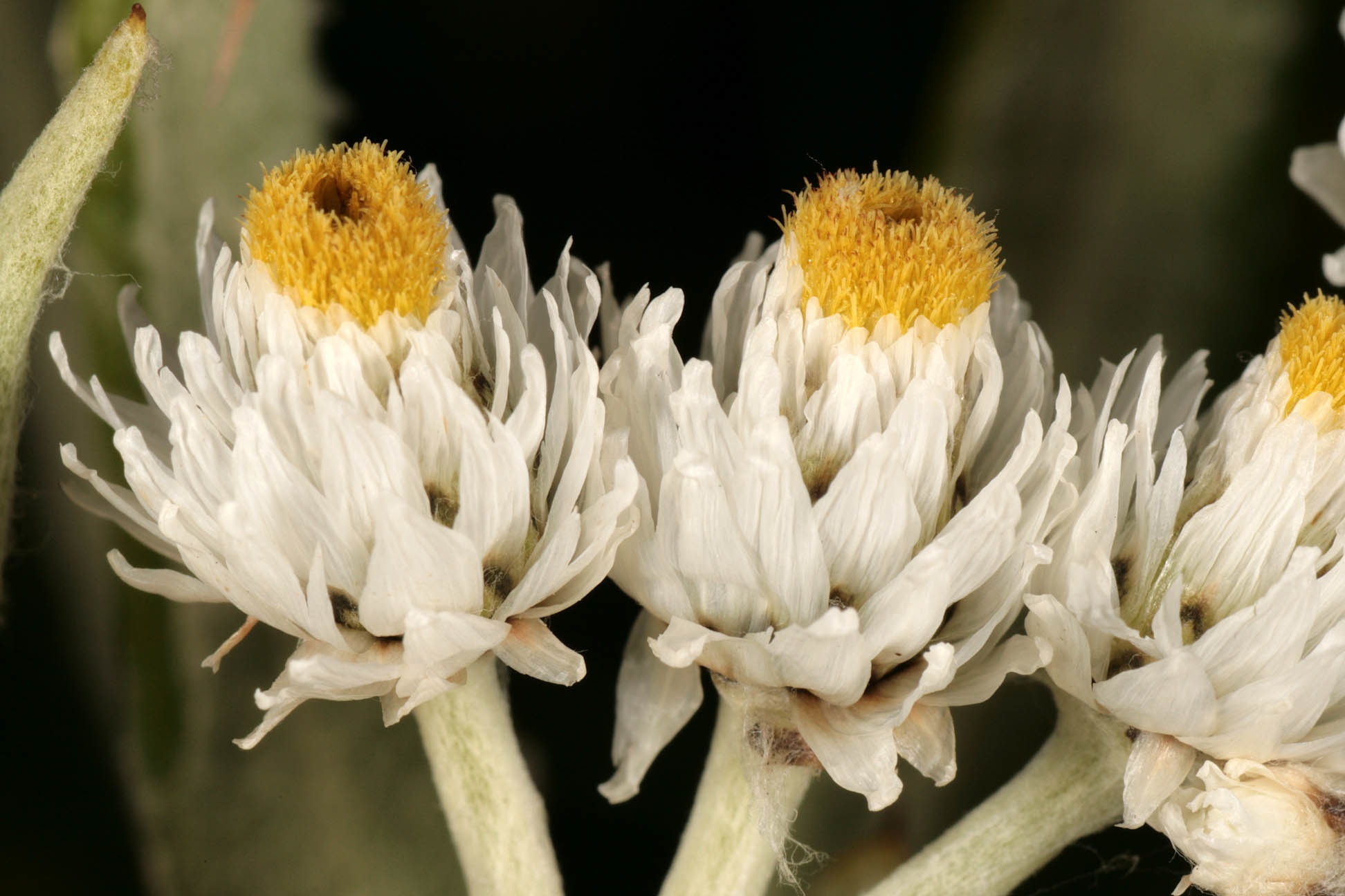 Image of western pearly everlasting