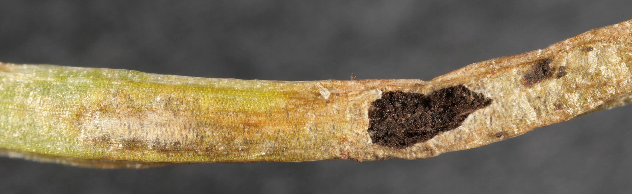 Image of <i>Vankya ornithogali</i> (J. C. Schmidt & Kunze) Ershad 2000