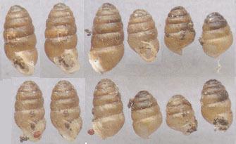 Image of chrysalis snail