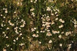 Image of <i>Chromocyphella muscicola</i> (Fr.) Donk 1959