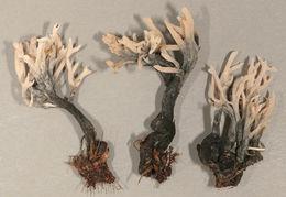 Image of <i>Helminthosphaeria clavariarum</i>