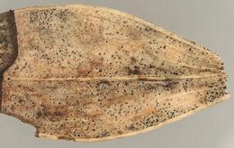 Image of <i>Phaeosphaeriopsis glaucopunctata</i> (Grev.) M. P. S. Câmara, M. E. Palm & A. W. Ramaley 2003