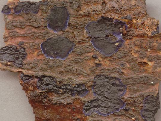 Image of <i>Terana coerulea</i> (Lam.) Kuntze 1891
