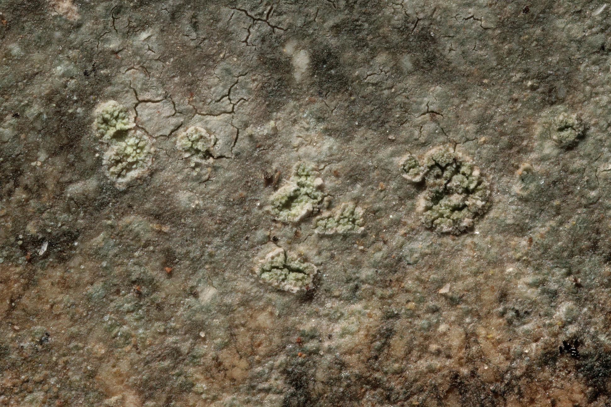 Image of <i>Porpidia tuberculosa</i> (Sm.) Hertel & Knoph