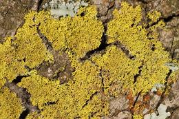 Image of lemon lichen