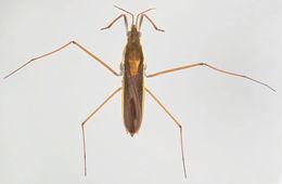 Image of <i>Gerris thoracicus</i> Schummel 1832