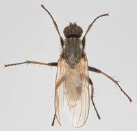 Image of <i>Fucellia tergina</i> (Zetterstedt 1845)