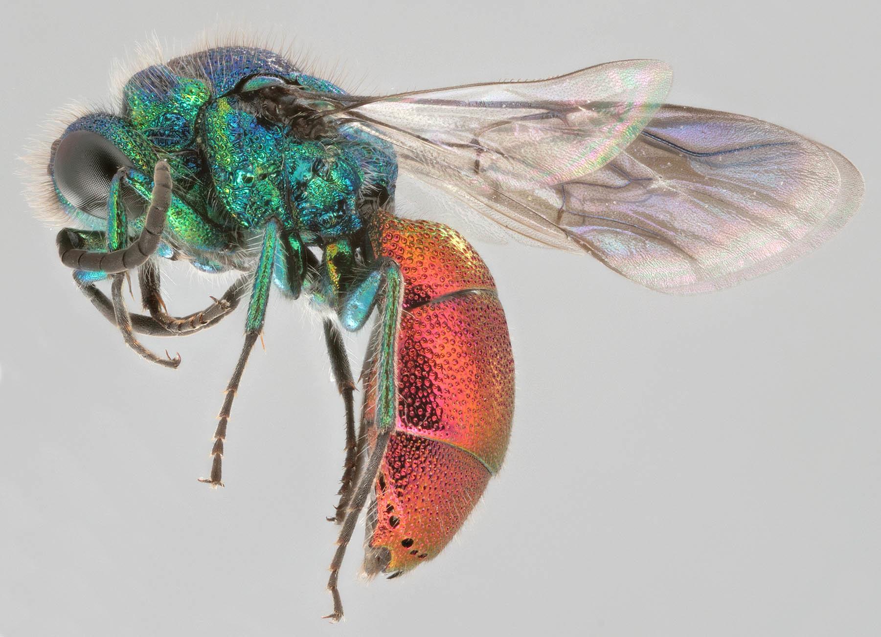 Image of <i>Chrysis rutiliventris</i>