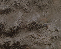 Image of <i>Camarops polysperma</i> (Mont.) J. H. Mill. 1930