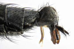 Image of <i>Argyra diaphana</i> (Fabricius 1775)