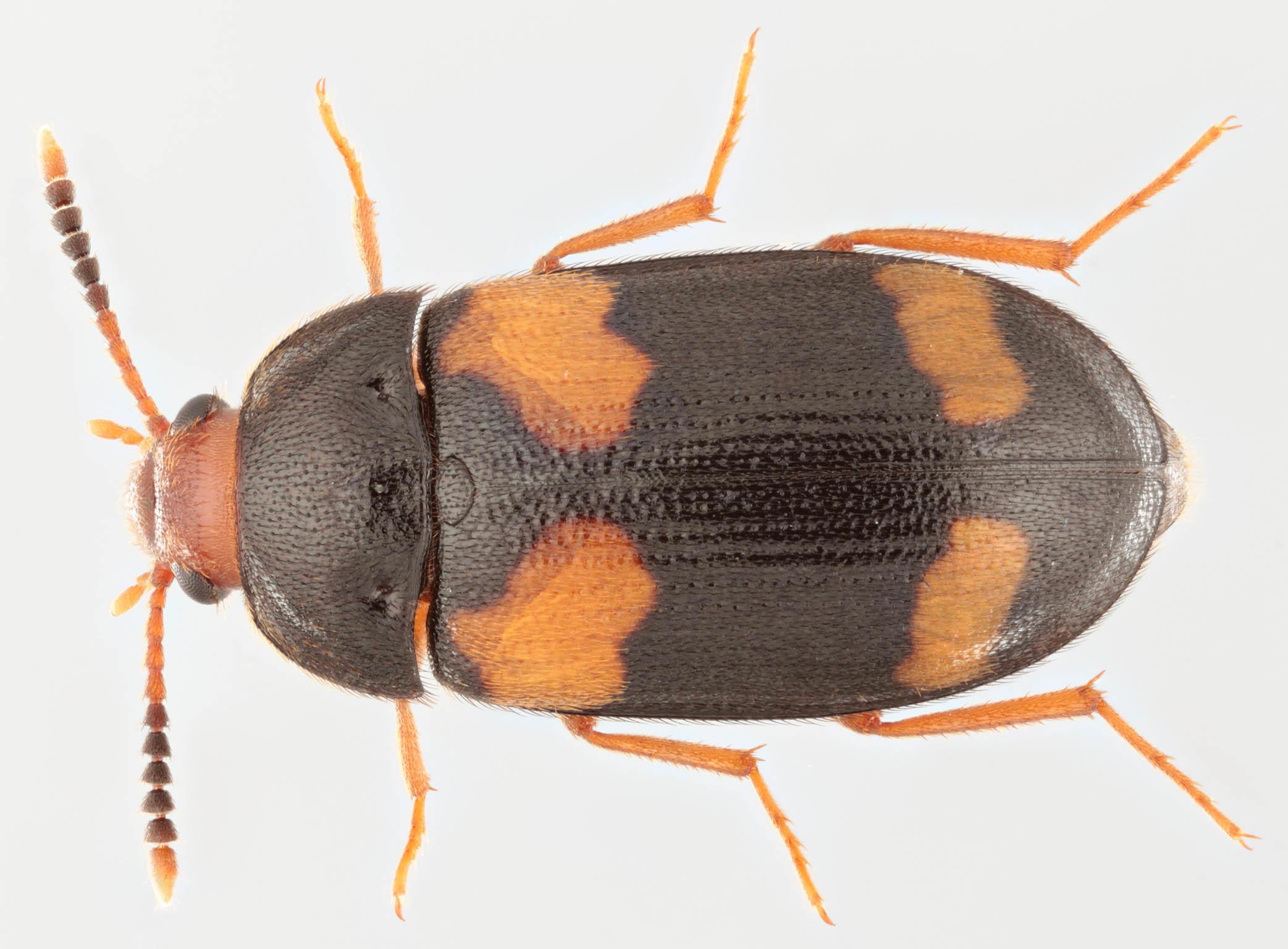 Image of <i>Mycetophagus quadripustulatus</i> (Linnaeus 1761) Linnaeus 1761