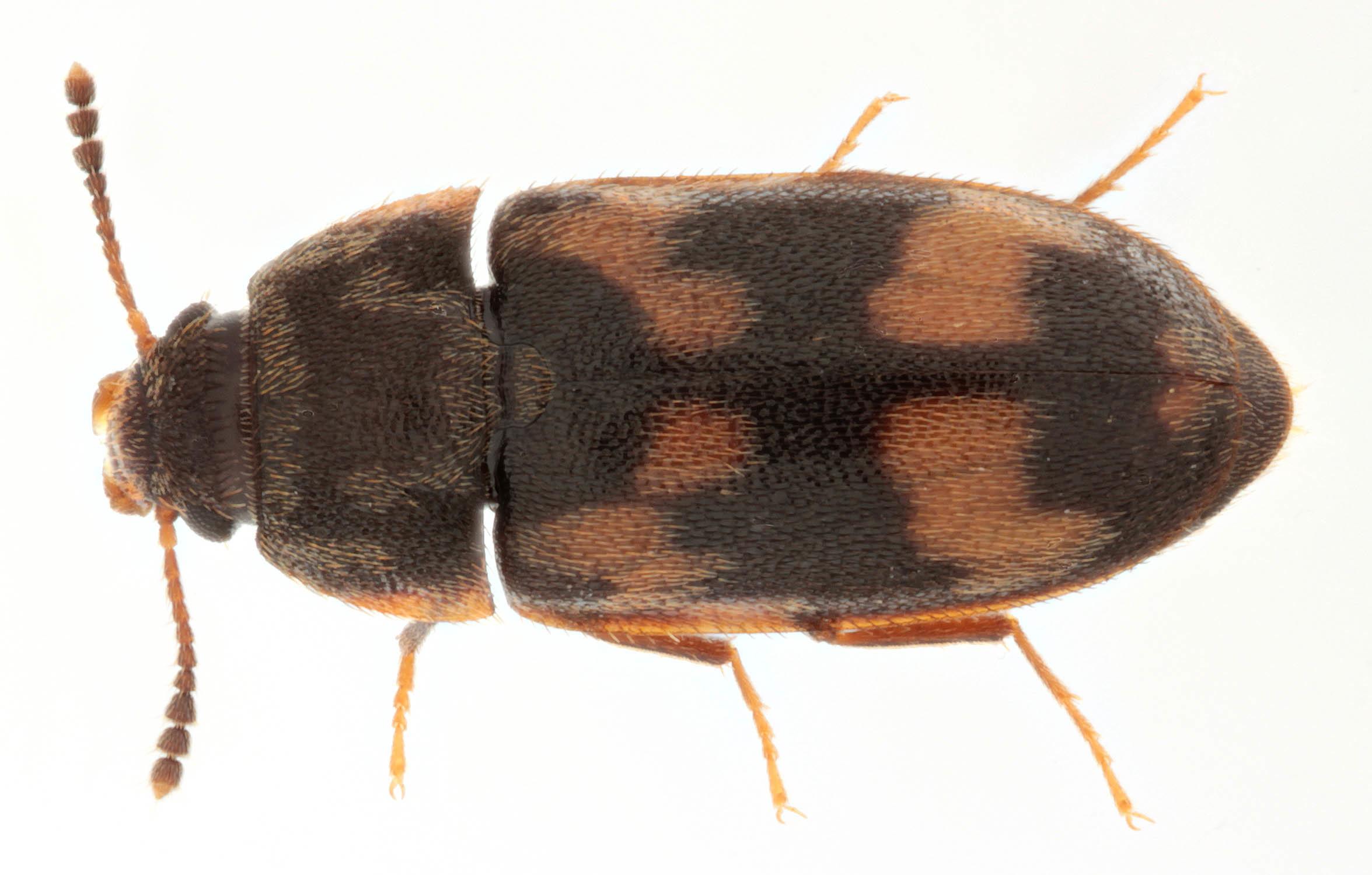 Image of <i>Litargus connexus</i> (Geoffroy 1785) Geoffroy 1785