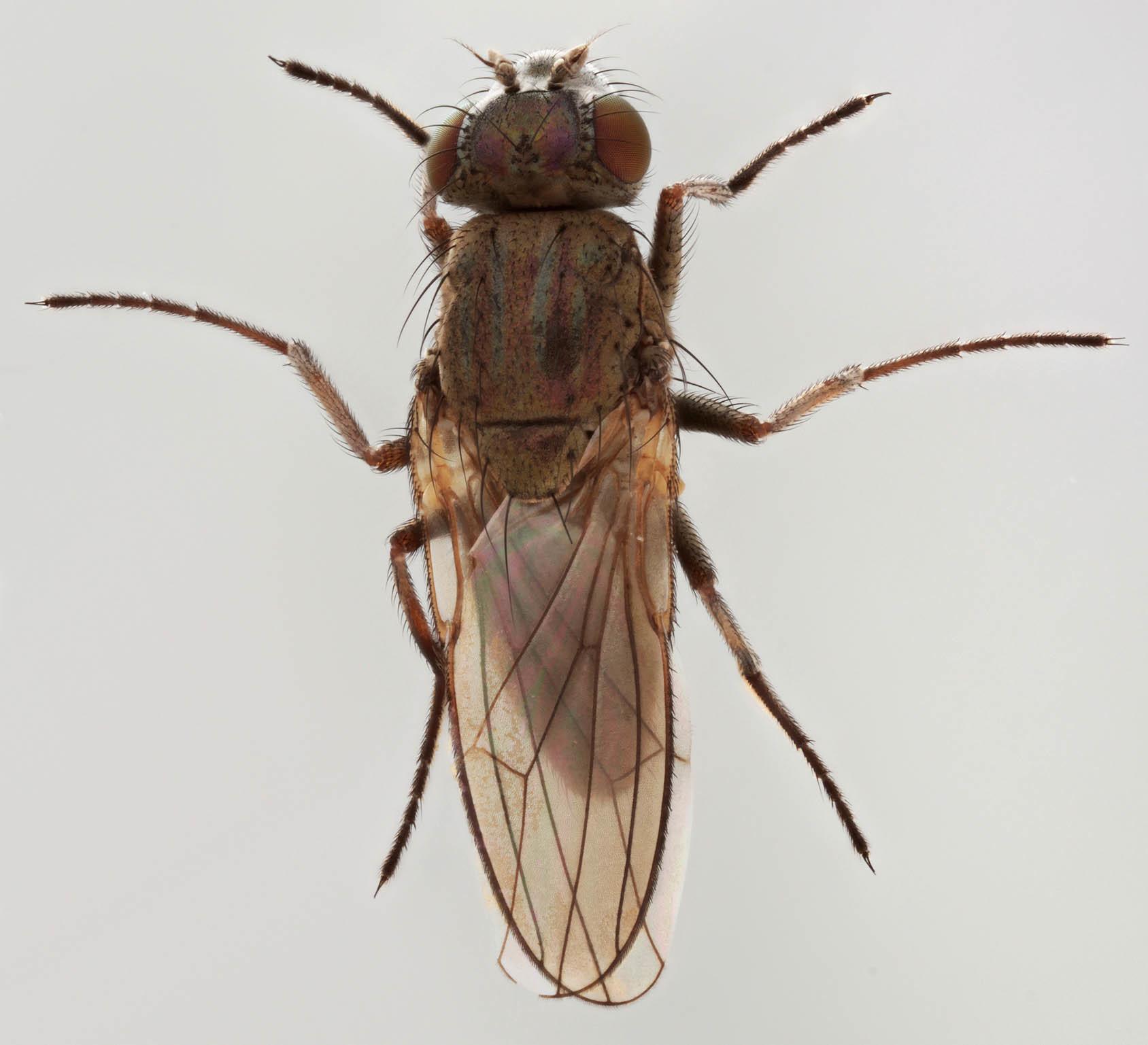 Image of <i>Ephydra macellaria</i> Egger 1862