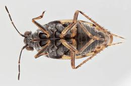 Image of <i>Saldula saltatoria</i> var. <i>margiinella</i>