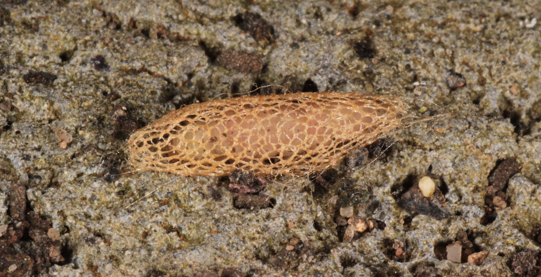 Image of <i>Acrolepiopsis assectella</i>