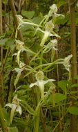 Image of Greater butterfly orchid